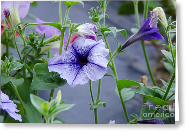 Greeting Card featuring the photograph Beautiful Petunias by Wilma  Birdwell
