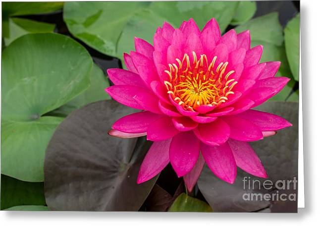 Beautiful Pink Waterlily Greeting Card by Tosporn Preede