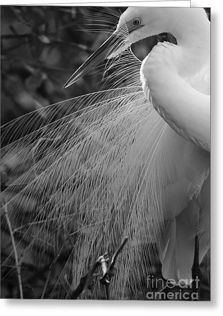 Kiss Of Plumes Greeting Card