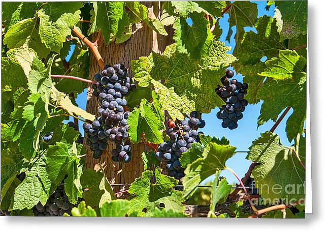 Beautiful Purple Grapes From Wine Vineyards In Napa Valley California. Greeting Card by Jamie Pham