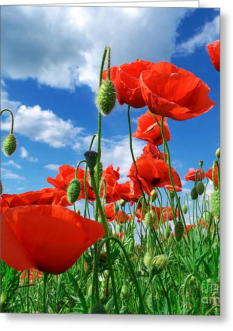 Beautiful Red Poppies Greeting Card by Boon Mee