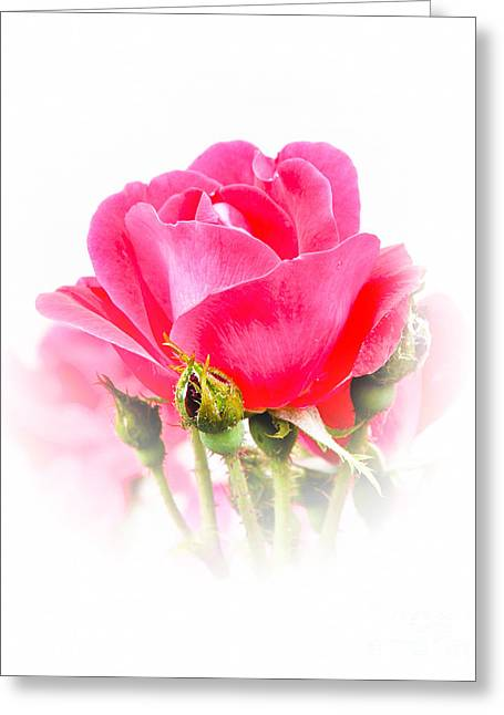 Greeting Card featuring the photograph Beautiful Rose by Anita Oakley