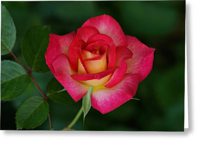 Beautiful Rose Greeting Card by Sandy Keeton