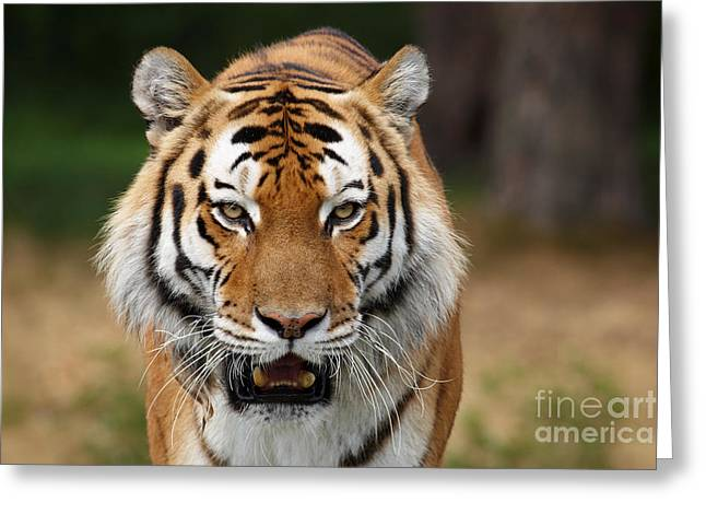 Beautiful Siberian Tiger Greeting Card by Boon Mee