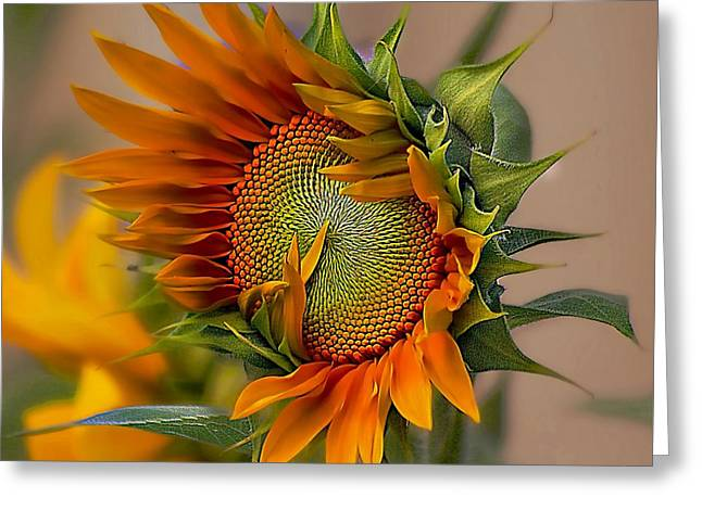Beautiful Sunflower Greeting Card by John  Kolenberg