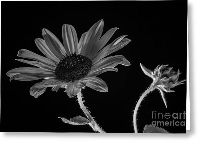Beautiful Sunflower On Black Greeting Card