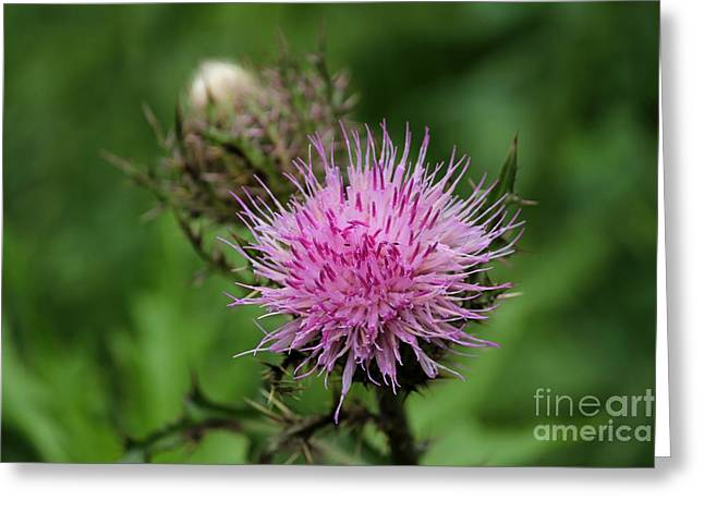 Beautiful Thistle Greeting Card by Theresa Willingham