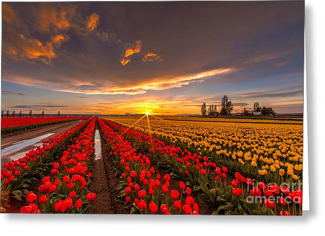 Beautiful Tulip Field Sunset Greeting Card by Mike Reid