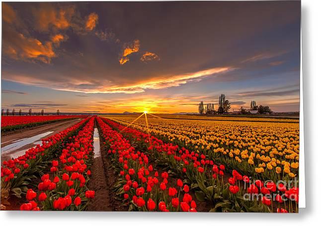 Beautiful Tulip Field Sunset Greeting Card