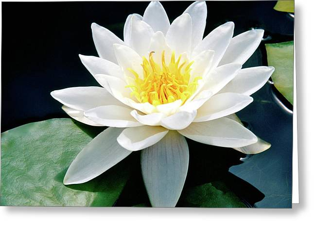 Beautiful Water Lily Capture Greeting Card by Ed  Riche