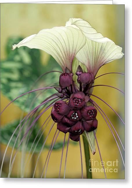 Beautiful White Bat Flower Greeting Card by Sabrina L Ryan
