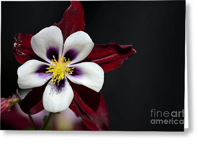 Beautiful White Petal Yellow Stamen Purple Shades Aquilegia Columbine Flower Greeting Card