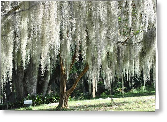 Greeting Card featuring the photograph Beautiful White Spanish Moss Hanging From Trees by Jodi Terracina