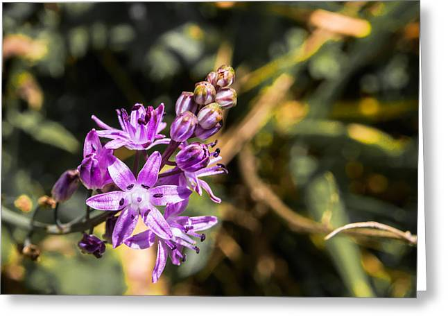 Scilla Bifolia Beautiful Wild Flower Country Greeting Card