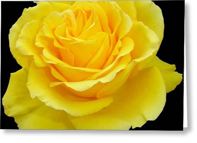 Beautiful Yellow Rose Flower On Black Background  Greeting Card by Tracey Harrington-Simpson