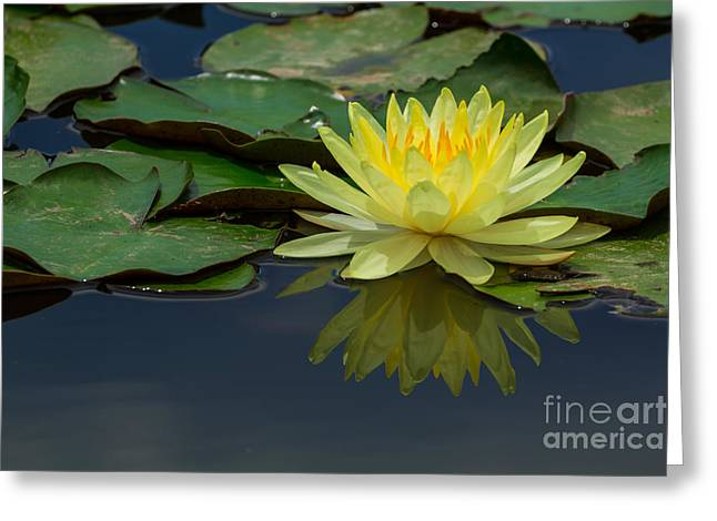 Beautiful Yellow Water Lily Greeting Card