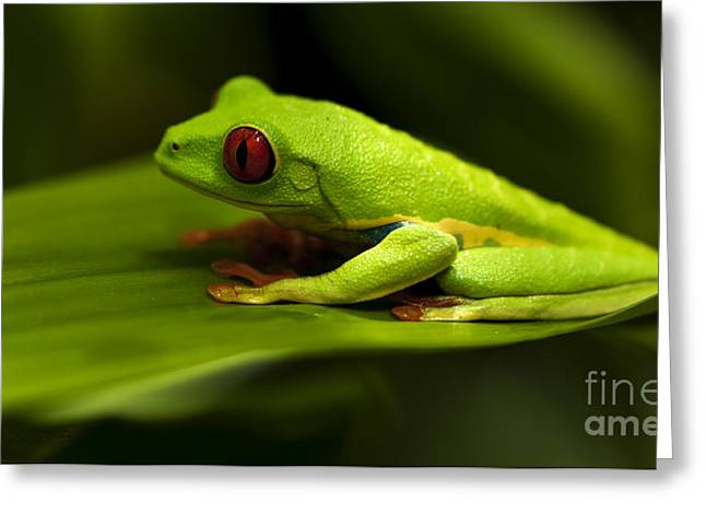 Beauty Of Tree Frogs Costa Rica 4 Greeting Card