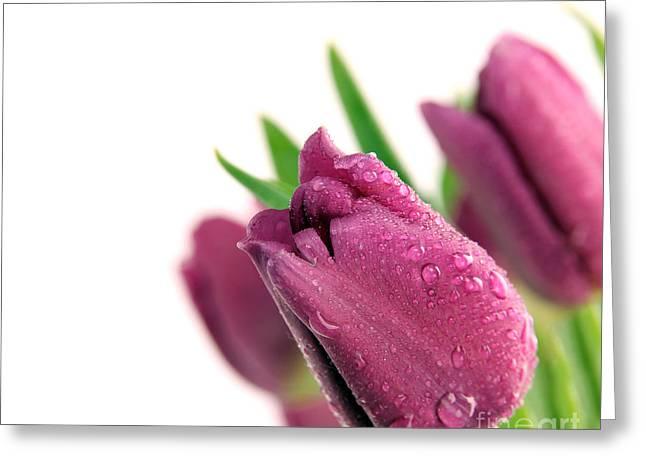 Beauty Purple Tulips Greeting Card by Boon Mee