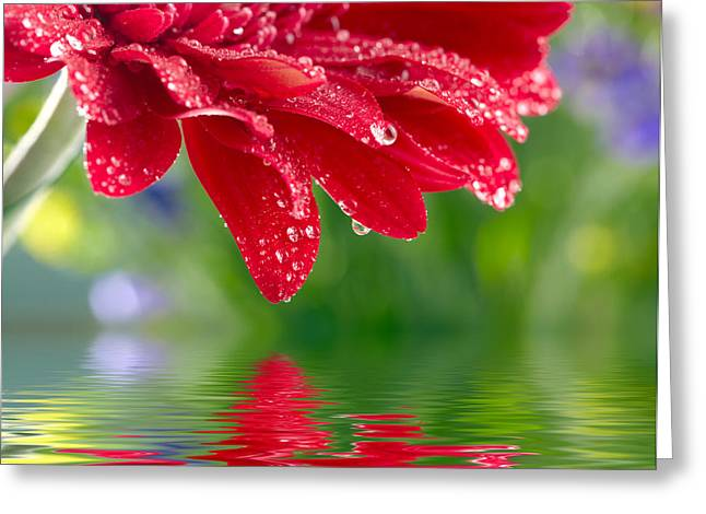 Beauty Red Gerbera Greeting Card by Boon Mee