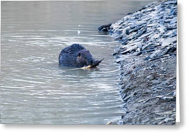 Beaver Chews On Stick Greeting Card