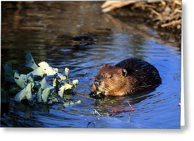 Beaver Eating Greeting Card by Paul J. Fusco