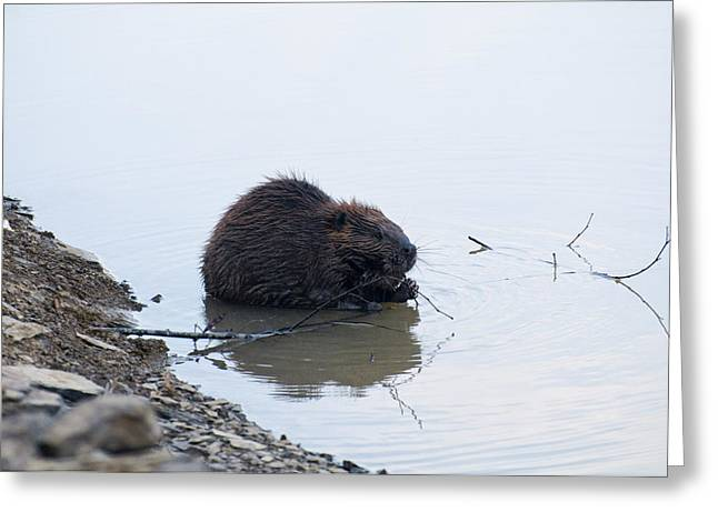 Beaver In The Shallows Greeting Card by Chris Flees