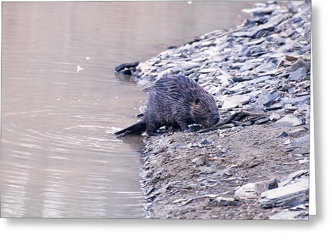 Beaver On Dry Land Greeting Card by Chris Flees