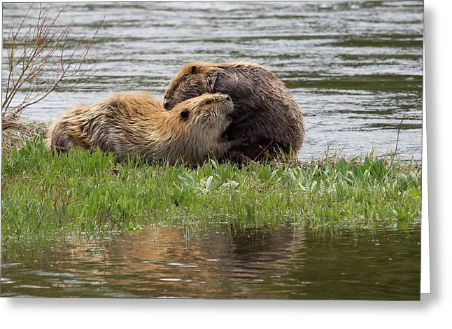 Beaver Pair Grooming One Another Greeting Card