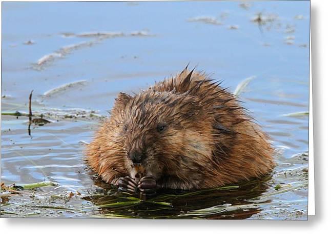 Beaver Portrait Greeting Card
