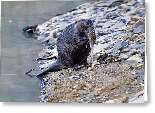 Beaver Sharpens Stick Greeting Card by Chris Flees