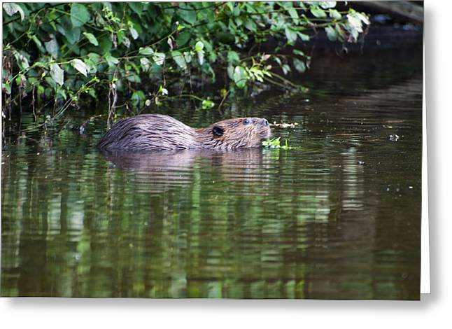 beaver swims in NC lake Greeting Card by Chris Flees