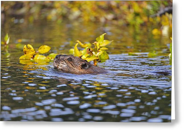 Beaver Swims With A Branch In Its Pond Greeting Card by Thomas Sbamato