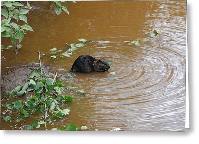 Beaver Youngster At Lunch Greeting Card by Sandra Updyke