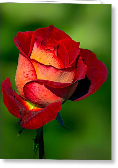 Becoming A Rose Greeting Card by Tomasz Dziubinski