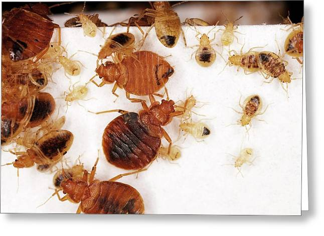 Bed Bug Adults And Nymphs Greeting Card by Stephen Ausmus/us Department Of Agriculture