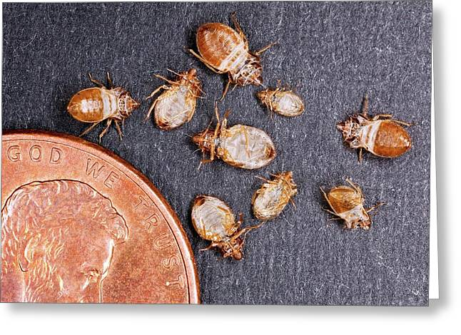 Bed Bugs With A Us One Cent Coin Greeting Card by Stephen Ausmus/us Department Of Agriculture