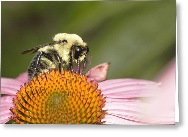 Bee At Work Greeting Card by Robert Culver