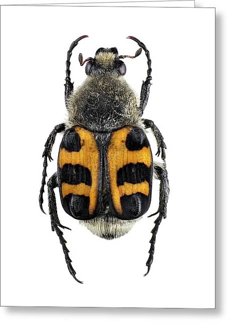 Bee Beetle Greeting Card by F. Martinez Clavel
