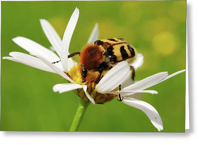 Bee Beetle On A Flower Greeting Card by Heiti Paves