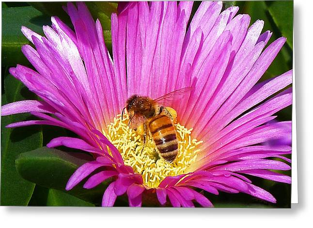 Bee Collecting Pollen On Pigface Flower Greeting Card