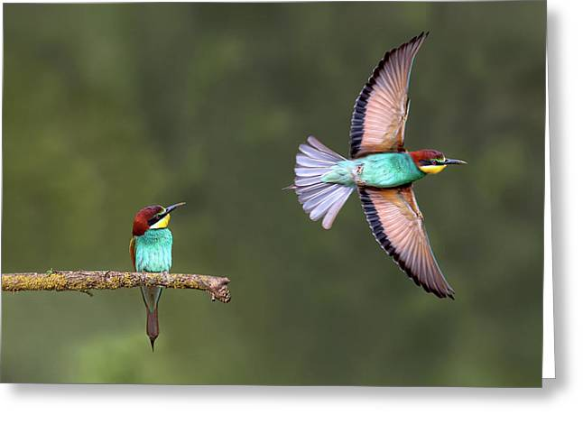 Bee-eater Going For Food Greeting Card by Xavier Ortega