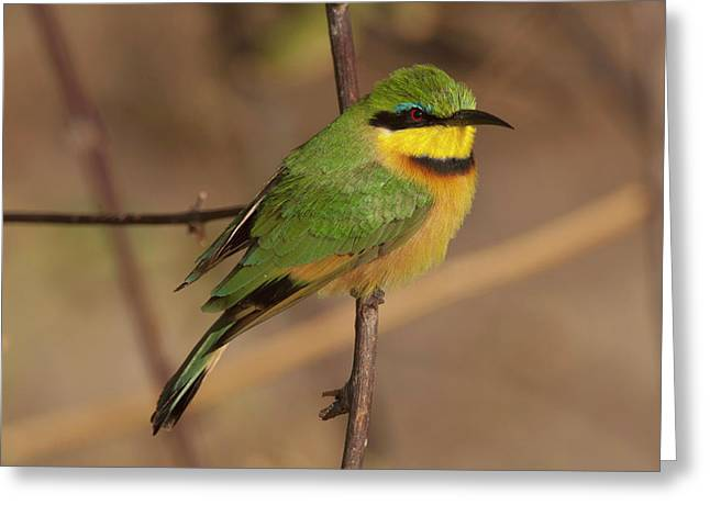 Bee Eater Posed On Branch, Botswana Greeting Card