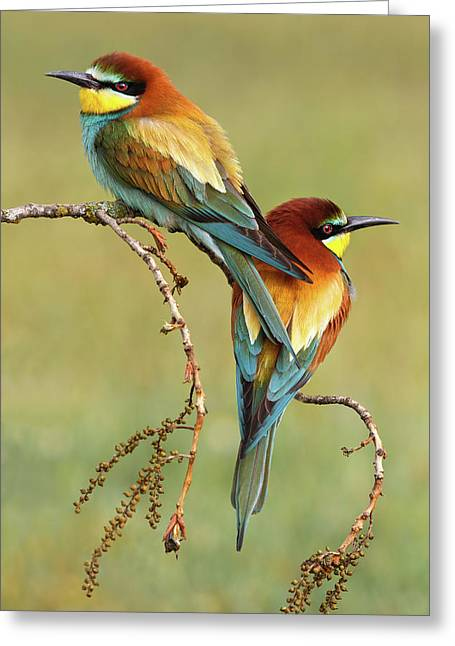 Bee-eaters In Love Greeting Card