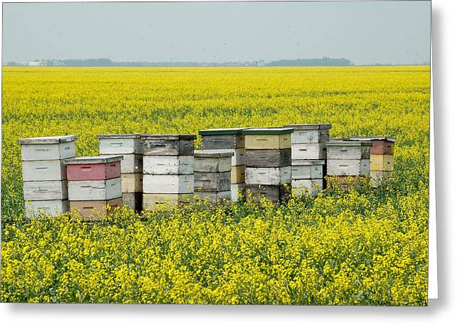 Bee Hives In A Canola Field In Southern Manitoba. Greeting Card