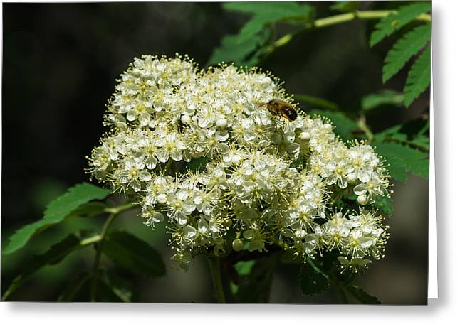 Bee Hovering Over Rowan Truss - Featured 3 Greeting Card by Alexander Senin