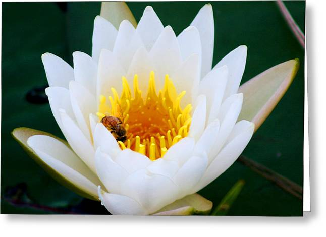 Bee In A Lily  Greeting Card by Marty Gayler