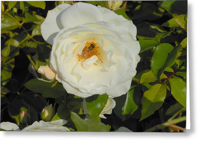 Bee In A White Rose Greeting Card