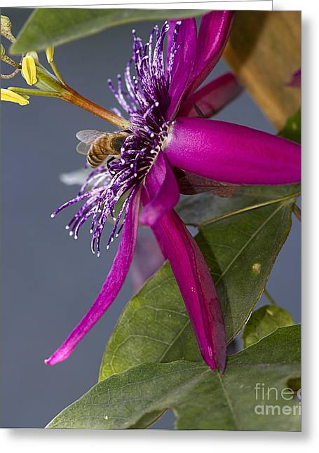 Bee In Passion Flower Greeting Card by Anne Rodkin