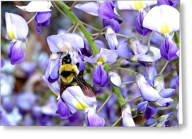 Bee In The Wisteria Greeting Card by Will Borden