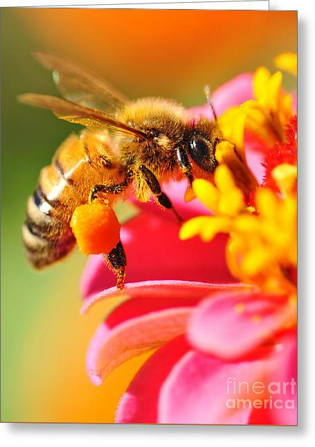 Bee Laden With Pollen Greeting Card